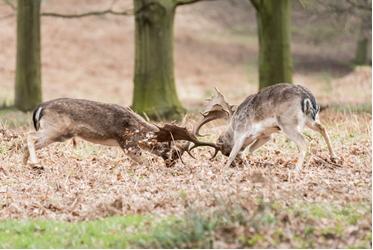 Fallow Deer stags rutting