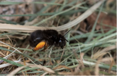 Solitary Bee - Anthophora plumipes