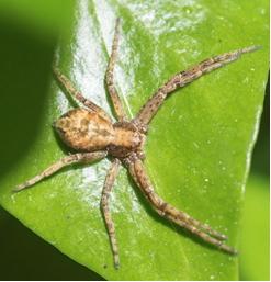 Spider - Xysticus sp