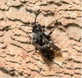 Cuckoo Bee - Melecta albifrons