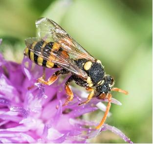 Painted Nomad Bee - Nomada fucata