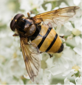 Hoverfly – Volucella inanis