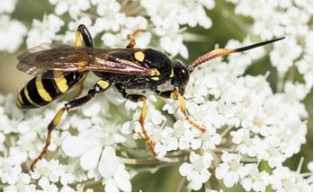 Ichneumon wasp - Ichneumon xanthorius