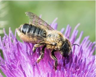 Patchwork Leafcutter Bee - Megachiule centuncularis