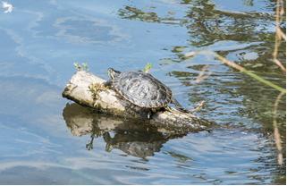 A River Thames Turtle