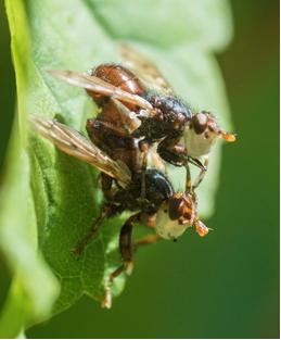 Conopid Fly - Myopa testacea