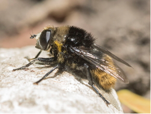 Hoverfly - Merodon equestris