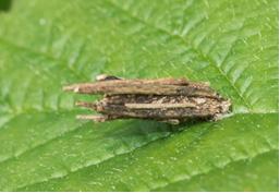 Moth – female Bag Worm