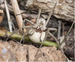 Spider - Pisuara mirabilis
