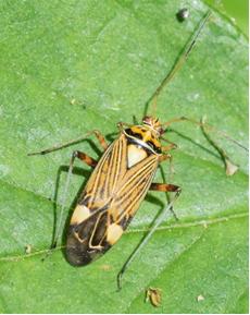 Striped Oak Bug - Rhabdomiris striatellus