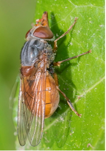 Hoverfly - Rhinga rostrata