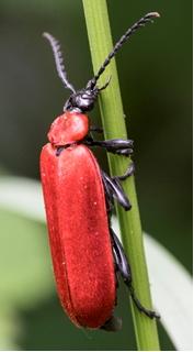 Cardinal Beetle - Pyorrhoea coccinea