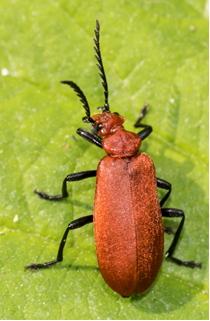Cardinal Beetle - Pyorrhoea serraticornis