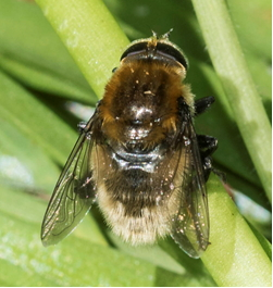 Hoverfly - Eristalis intricaria