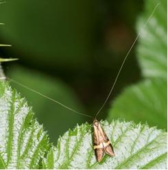 Long-horned moth - Nemophora degeerella