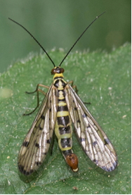 Male Scorpion Fly – Pandora sp