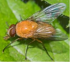 Muscid Fly - Phaonia pallida