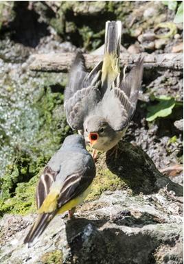 Grey Wagtail feeding young
