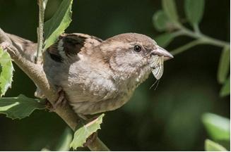 House Sparrow with a Mayfly