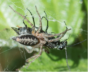 Spider - Agelena labyrinthica