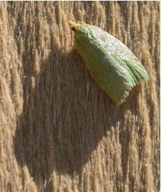 Green Oak Tortix - Tortix viridana