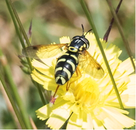 Hoverfly – Chrysotoxum festiuvium