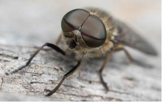Horse-fly - Tabanus bromius