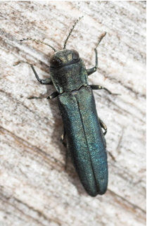 Jewel Beetle – Agrilus sp.