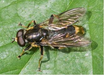 Hoverfly - Xylota sylvarum
