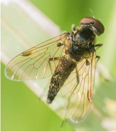 Snipe type fly - Chrysopilus cristatus