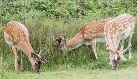 Fallow Deer Stags