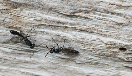 Nesting Solitary wasps