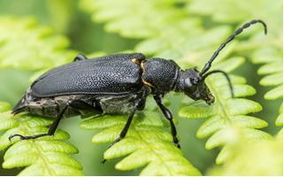 Black Long-horn Beetle - Stictoleptura scutellata