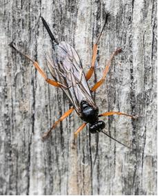 Ichneumon wasp – Pimpla sp.