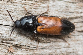 Click-beetle - Ampedus balteatus