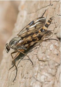 Snipe-Fly - Rhagio scolopacea