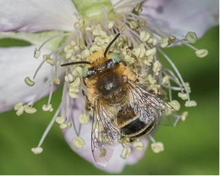 Green-eyed Flower Bee - Anthophora bimaculata