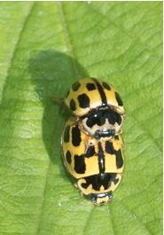 14 Spot Ladybirds - Propylea 14-punctata
