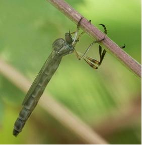 Robber-fly - Leptogaster guttiventris