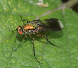 Fly - Poecilobothrus nobilitatus