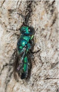 Cuckoo Wasp - Trichrysis cyanea