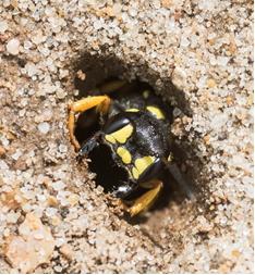 Sand Tailed Digger Wasp Cerceris arenaria