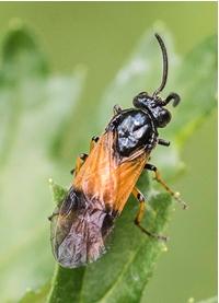 Sawfly – Arge sp.