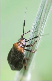 Capsid bug - Capsus ater
