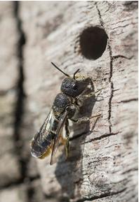 Large Headed Resin Bee - Heriades truncorum
