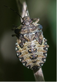 Forest Shield Bug nymph