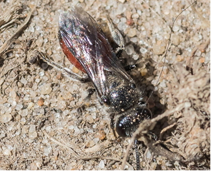 Blood-Bee - Sphecodes sp.