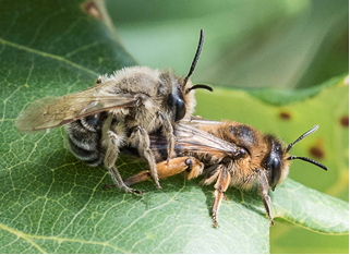 Un-identified mating bees