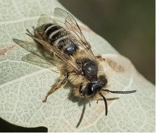 Bee – Colletes sp.