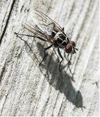 Muscid fly - Anthoymia pluvialis